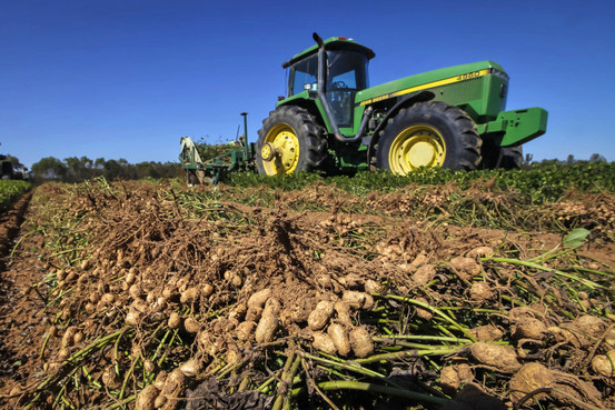 Καλλιέργεια αραχίδας – αράπικο φιστίκι