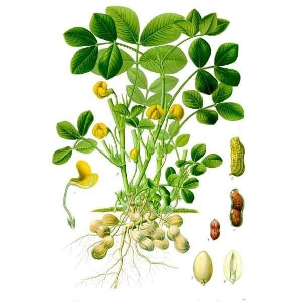 Grecianpeanuts παραγωγή - εμπορία αράπικου φιστικιού